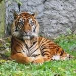 300px-Panthera_tigris_sumatran_subspecies